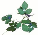 our Austrian blackberries